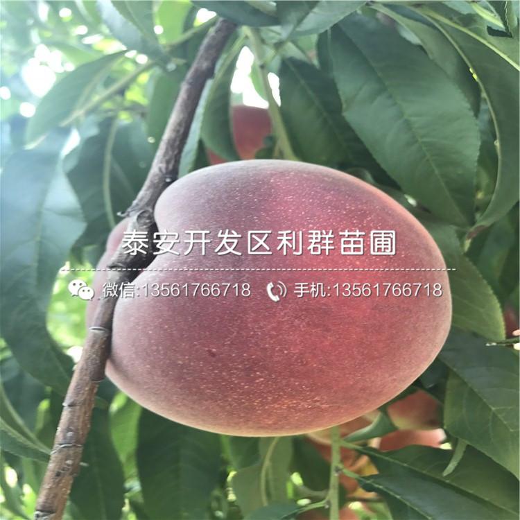 山东王桃苗出售基地