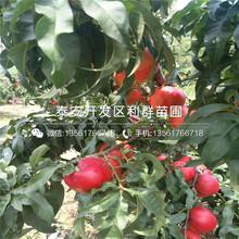 中桃金蜜桃樹苗品種介紹、中桃金蜜桃樹苗多少錢一棵圖片