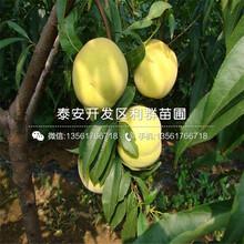 新品种夏红桃树苗图片