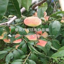 批發極早美脆桃樹苗價格是多少圖片