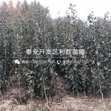2019年粉口山楂樹苗批發價格圖片