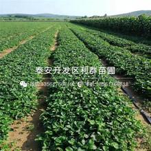 優質大棚草莓苗批發圖片