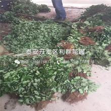 山东新品种草莓苗、山东新品种草莓苗批发价格图片