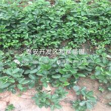山東奧巴草莓苗價格是多少圖片