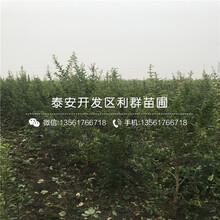 山東5公分石榴樹苗批發圖片