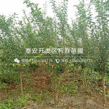 山东蒙阳红石榴树苗、蒙阳红石榴树苗品种图片