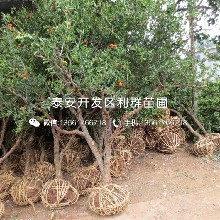 新品种5公分石榴树苗、新品种5公分石榴树苗出售价格是多少图片