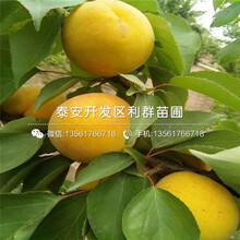 2018年3公分杏樹苗價格、3公分杏樹苗基地圖片