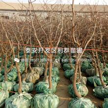 2018年蘋果棗樹苗批發價格圖片