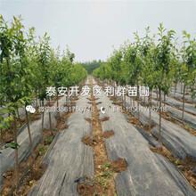 山東大紅李子樹苗出售價格、山東大紅李子樹苗多少錢一棵圖片