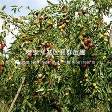 新品种出售枣树苗价格图片