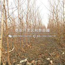 沾化二代冬枣苗出售价格、2019年沾化二代冬枣苗价格图片