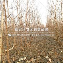 新品種(zhong)月光棗(zao)苗(miao)、新品種(zhong)月光棗(zao)苗(miao)報價圖片