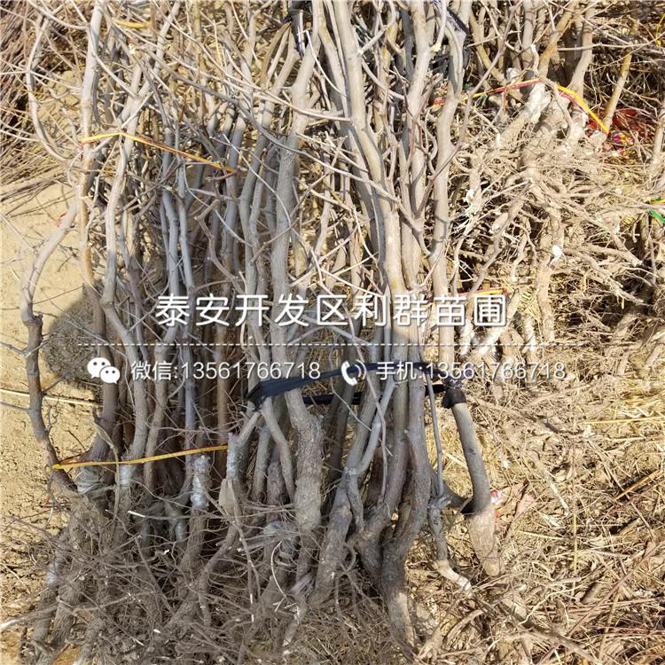 山东青枣树苗出售、山东青枣树苗多少钱一棵