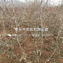 批發葫蘆棗苗、葫蘆棗苗出售基地圖片