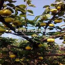 山东金果梨苗出售价格、山东金果梨苗价格多少图片