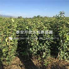 奇红早酥梨梨树苗、2018年奇红早酥梨梨树苗价格图片