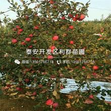 瑞士红肉苹果苗报价、瑞士红肉苹果苗多少钱一棵图片