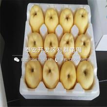 瑞士红肉苹果苗直销价格图片
