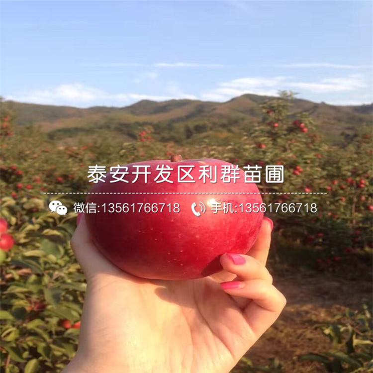 2米高红肉苹果苗