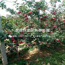 新品种红肉苹果苗出售基地图片