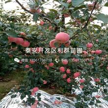 哪里有卖红肉苹果苗图片