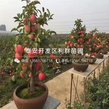 红肉苹果苗多少钱一棵、红肉苹果苗批发图片