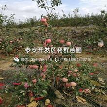2018年美國八號蘋果苗價格、美國八號蘋果苗出售價格圖片