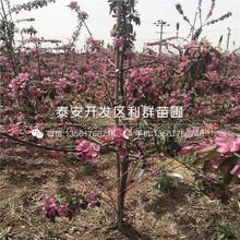 北方國光蘋果苗圖片