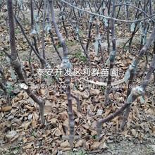 山东红肉苹果树苗图片
