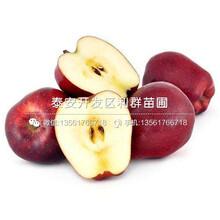 山东瑞士红肉苹果苗、瑞士红肉苹果苗批发图片