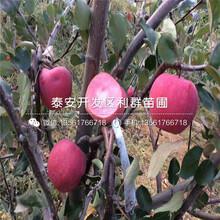 新品种美国八号苹果树苗、美国八号苹果树苗价格是多少图片