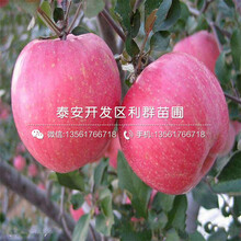 销售瑞士红肉苹果树苗基地图片