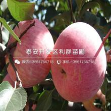 新品种红肉苹果苗、新品种红肉苹果苗出售基地图片