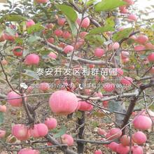哪里山東蘋果苗價格便宜圖片