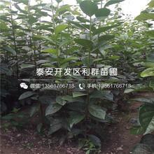 松本早生柿子樹苗、2018年松本早生柿子樹苗價格圖片