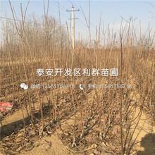 供應無核方柿子樹苗、無核方柿子樹苗價格是多少圖片