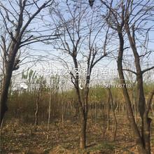 山東日本柿子樹苗批發價格多少圖片