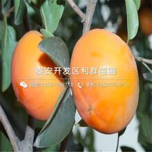 雞心柿子樹苗價格、雞心柿子樹苗報價多少圖片