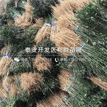 枸橘種苗、山東枸橘種苗品種圖片