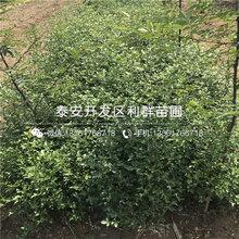 枳殼樹苗銷售價格圖片