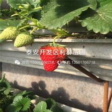 美德萊特草莓苗哪里出售圖片