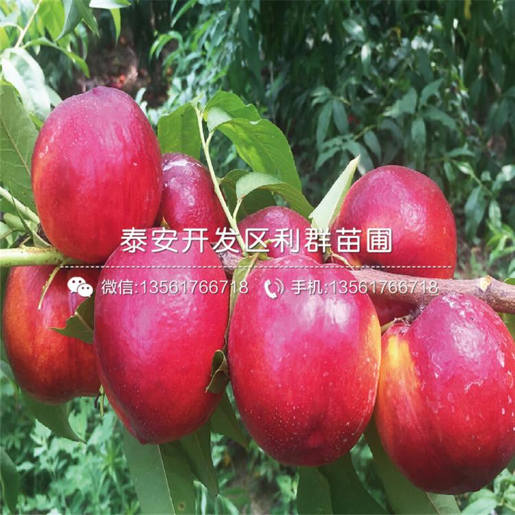 2019年雙矮蘋果苗價格行情