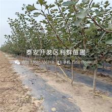 3公分油桃苗什么价格、3公分油桃苗产地在哪里图片