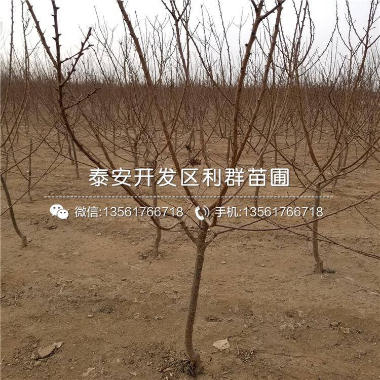 葫蘆棗樹苗批發、2019年葫蘆棗樹苗報價