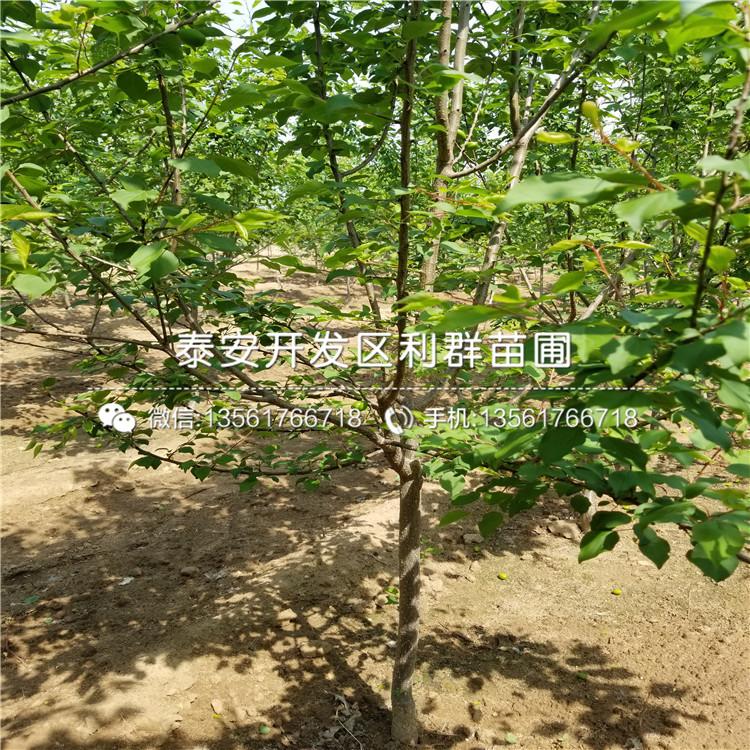 出售9602油桃樹苗價格
