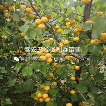出售9602油桃樹苗價格圖片