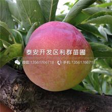 哪里有实生杏树苗出卖、实生杏树苗价格是几图片