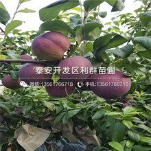9公分石榴樹苗報價、9公分石榴樹苗價格是多少圖片