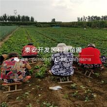 山东华玉苹果树苗、山东华玉苹果树苗品种图片
